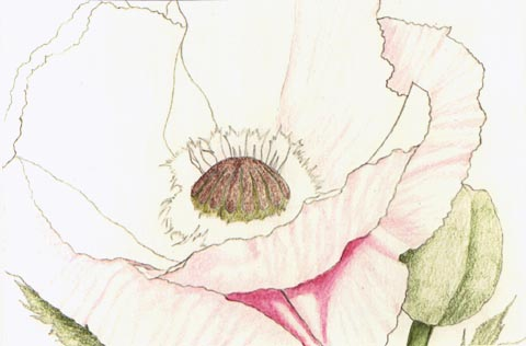Colored pencil techniques by kristy kutch step one with a color photocopy of a reference photo i rearranged and cropped elements of the poppy composition using an hb pencil and light pressure mightylinksfo